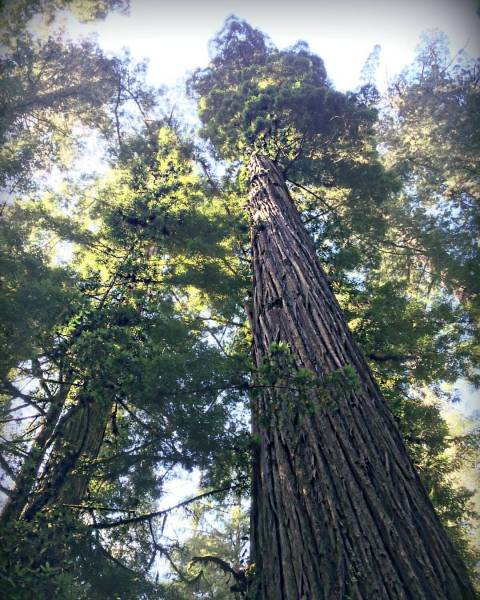 Redwood Forest skyline